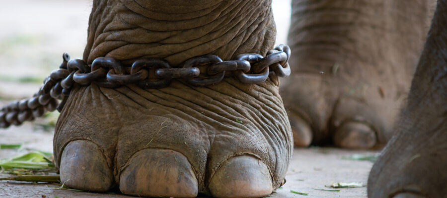 Elephant Chained Foot